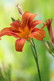 lilly pomarańcze Obrazy Stock