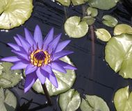 Lilly pond Royalty Free Stock Photo