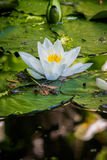 Lilly pond 01 Royalty Free Stock Image