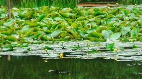 Lilly pond refreshed after rain royalty free stock photos