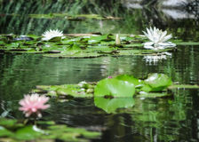 By the Lilly Pond Royalty Free Stock Photos