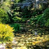 Lilly Pond. Sun glinting over a beautiful lilly pond Royalty Free Stock Photo