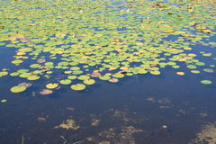 Lilly pond Stock Image