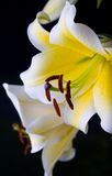 lilly portret Obrazy Royalty Free