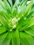 Lilly, pre-floración Imágenes de archivo libres de regalías