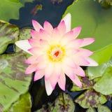 lilly różowa woda Obrazy Stock