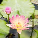 lilly różowa woda Fotografia Stock