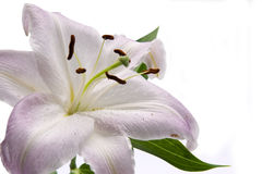 lilly różowy Obrazy Royalty Free