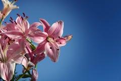 lilly różowe kwiaty zdjęcie royalty free