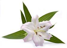 lilly różowy Zdjęcia Royalty Free