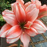 Lilly Red Royaltyfria Bilder