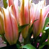 Lilly rosa färger royaltyfri bild