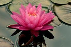 lilly rosa vatten Arkivbilder