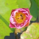 lilly rosa vatten Arkivfoton