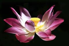 lilly rosa vatten Fotografering för Bildbyråer