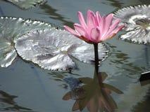 lilly rosa vatten Arkivfoto