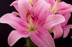 Lilly rosado oriental fotografía de archivo libre de regalías