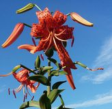 Lilly in the sky. Spotted orange tiger lilly the cloud and blue sky back stock photos