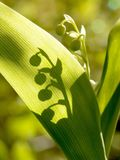 lilly sping谷的森林 库存照片