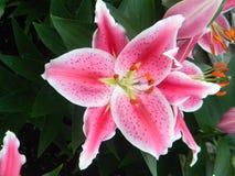 lilly stargazer стоковая фотография rf
