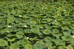 lilly stawowa woda Obrazy Stock