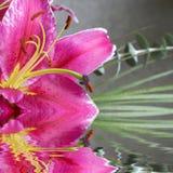 lilly tiger Arkivbild