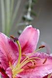 lilly tiger Arkivfoton