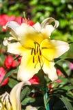Lilly in tuinen Royalty-vrije Stock Afbeeldingen