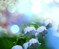 Lilly of  the Valley. Lilly of the valley Royalty Free Stock Photo