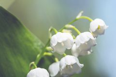Lilly of the valley Royalty Free Stock Image