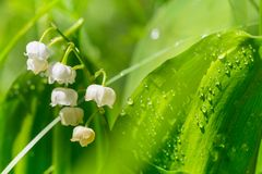 Lilly of the valley Stock Photography