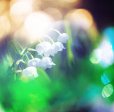 Lilly of the valley Stock Images