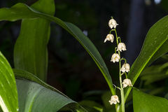Lilly of the valley blosome under the forest canopy. Royalty Free Stock Image
