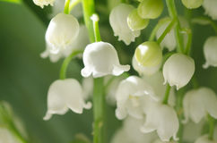 Lilly of the valley. Closeup, selective focus Stock Photography
