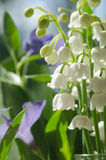 Lilly of the valley. Closeup, selective focus Royalty Free Stock Images