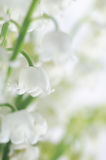 Lilly of the valley. Closeup, selective focus Stock Images