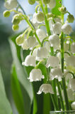 Lilly of the valley. Closeup, selective focus Stock Image
