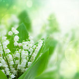 Lilly of the valley flowers close up. On green bokeh  background Royalty Free Stock Photography