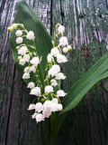 Lilly of the valley flowers and leaves bouquet isolated on the b. Ackground Stock Photo