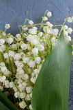 Lilly of the valley flowers. And leaves close up on gray stone background Stock Image