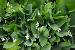 Lilly of the valley flowers, upper view. The close up view of the lilly of the valley flowers, surrounded by green leaves Royalty Free Stock Images