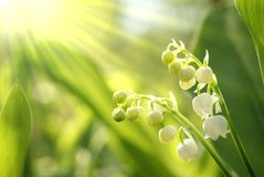 Lilly of the valley in the forest Royalty Free Stock Photo