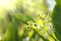 Lilly of the valley in the forest. Fresh white Lilly of the valley in the forest in spring with green leaves na morning sun rays Stock Images