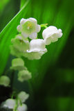 Lilly of valley in green leaves Royalty Free Stock Photos