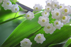 Lilly of valley in green leaves Stock Photo