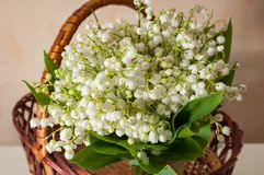 Lilly of the valley with green leaves close up in the basket. The lilly of the valley with green leaves close up in the basket Stock Photos