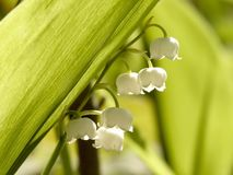 Lilly of the valley in sping forest Stock Photo