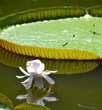 lilly vatten Royaltyfri Foto
