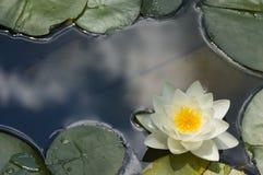 lilly vatten Royaltyfria Bilder