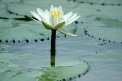 lilly vatten Royaltyfria Foton